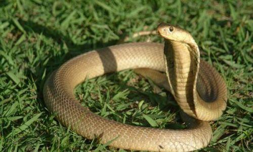 Mơ thấy rắn hổ mang điềm báo gì? Nên đánh con đề gì nhanh thắng?